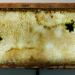 "Integration Attempt No. 1 (detail), 17"" x 6"", Beard hair with beehive honey frames and light boxes"
