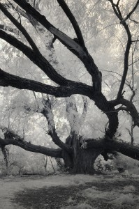 Tree in Infrared by Sandra Todd, Wellsville, First Place Photography
